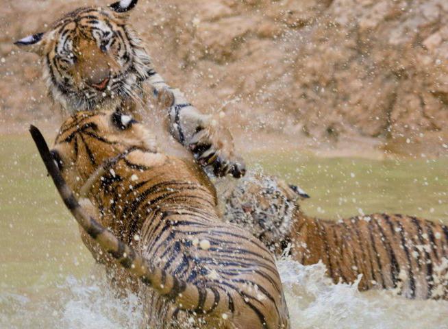 silové zvíře tygr