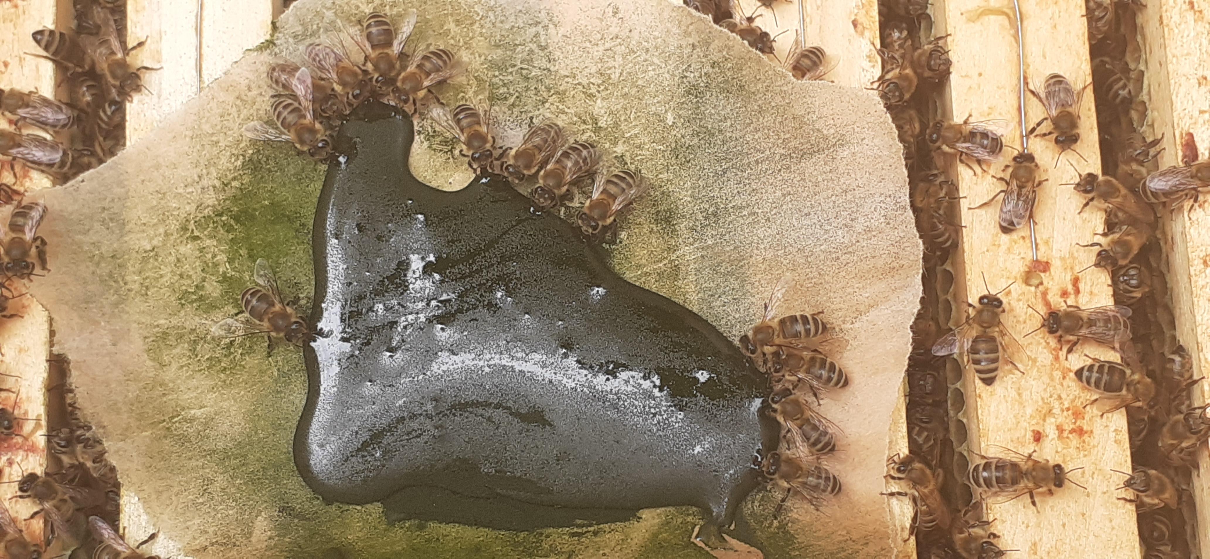 včely a chlorella